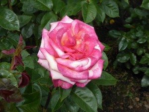 Portland International Test Rose Garden