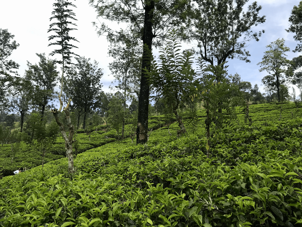 Visit a tea plantation